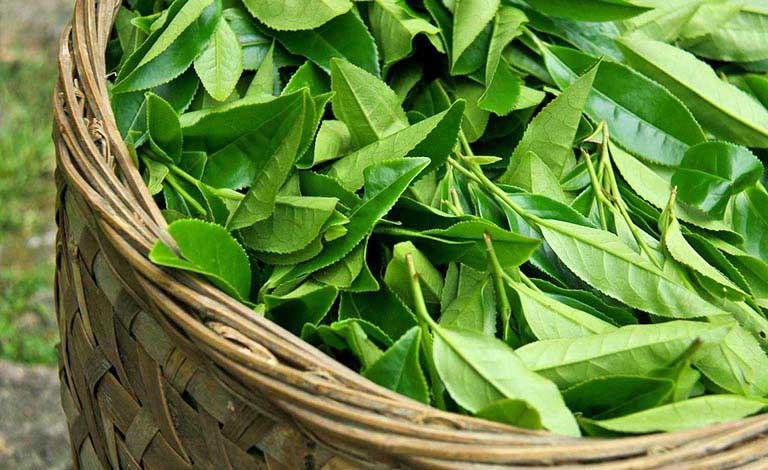 Tắm lá trà xanh sẽ giúp trị hăm da ở trẻ rất tốt